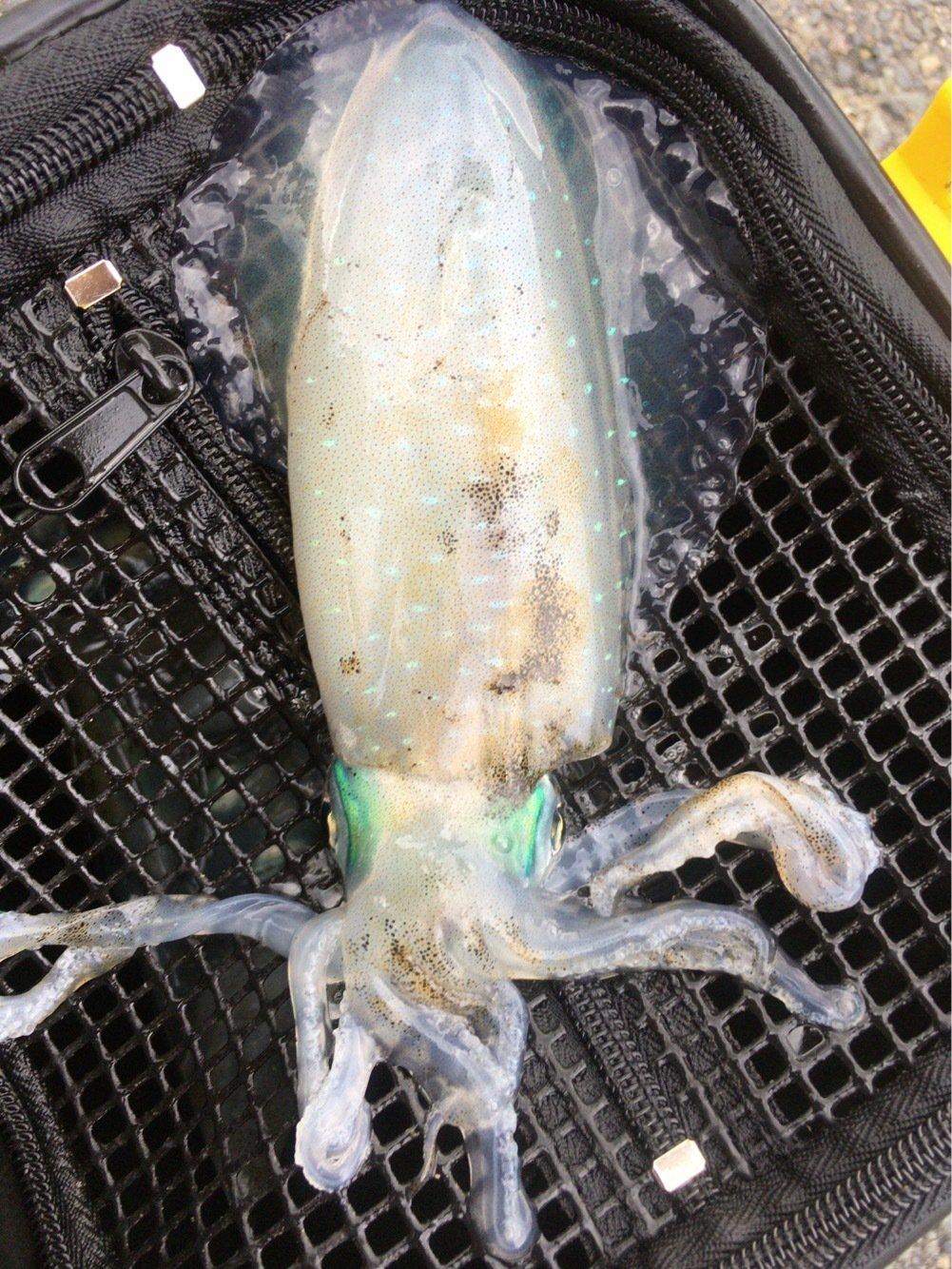 釣りでもしようさんの投稿画像,写っている魚はアオリイカ
