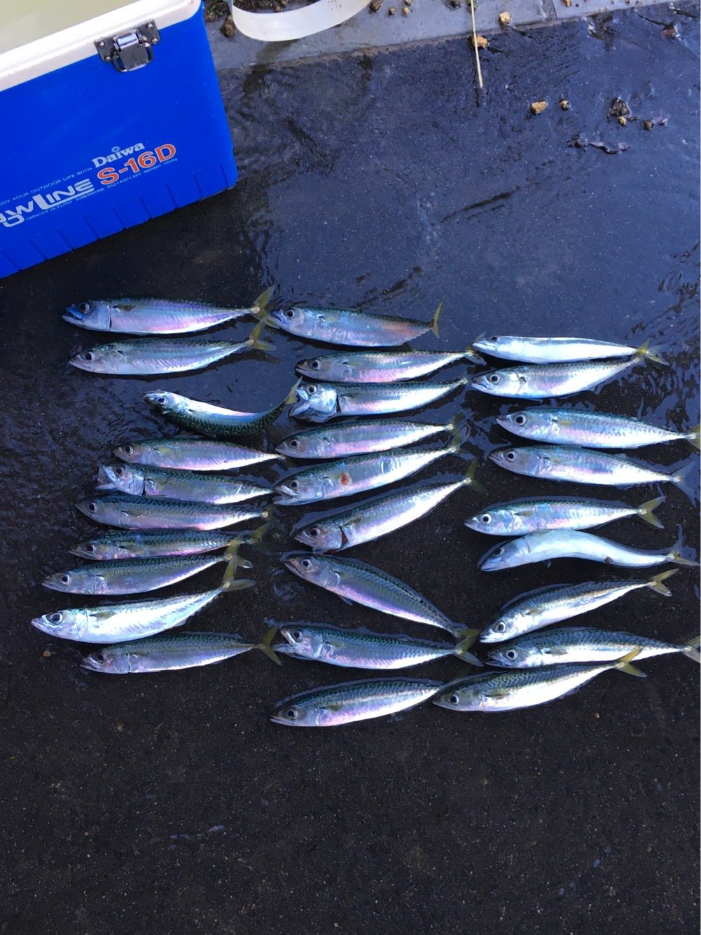 anglerさんの投稿画像,写っている魚はマサバ
