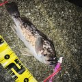 へたっぴ三ちゃんさんの福島県での釣果写真