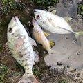 毒モップさんの沖縄県石垣市での釣果写真