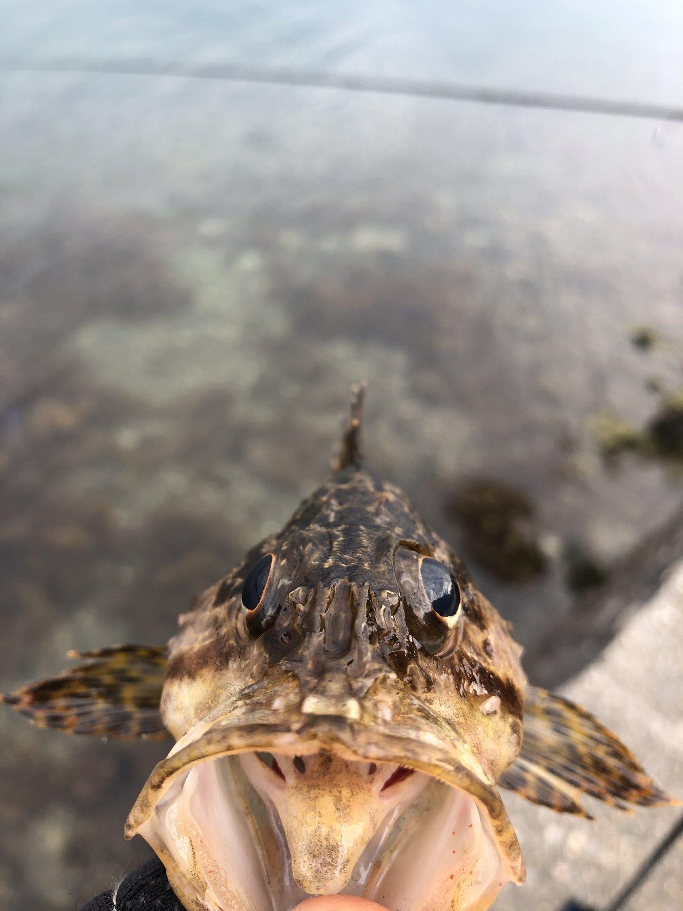 神楽さんの投稿画像,写っている魚はタケノコメバル