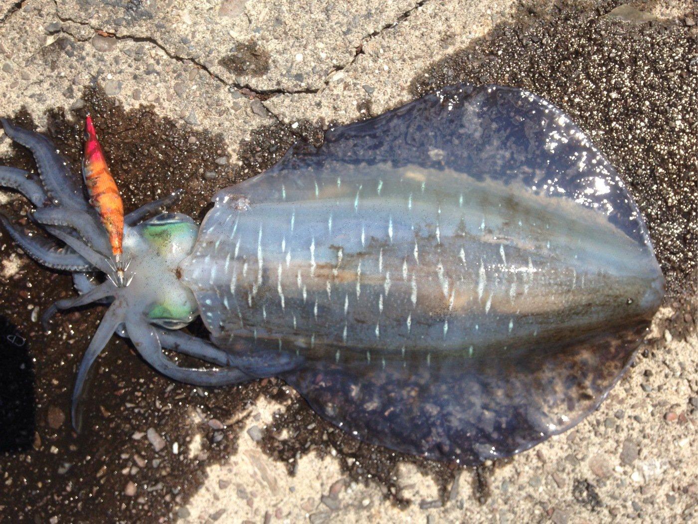 ひかるさんの投稿画像,写っている魚はアオリイカ