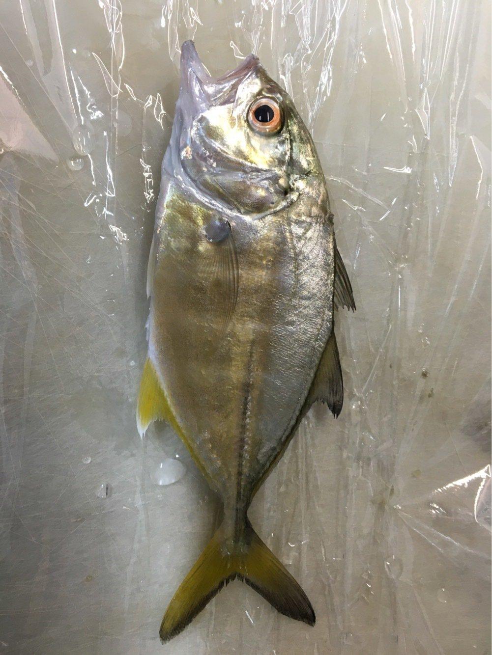 田中Sさんの投稿画像,写っている魚はギンガメアジ