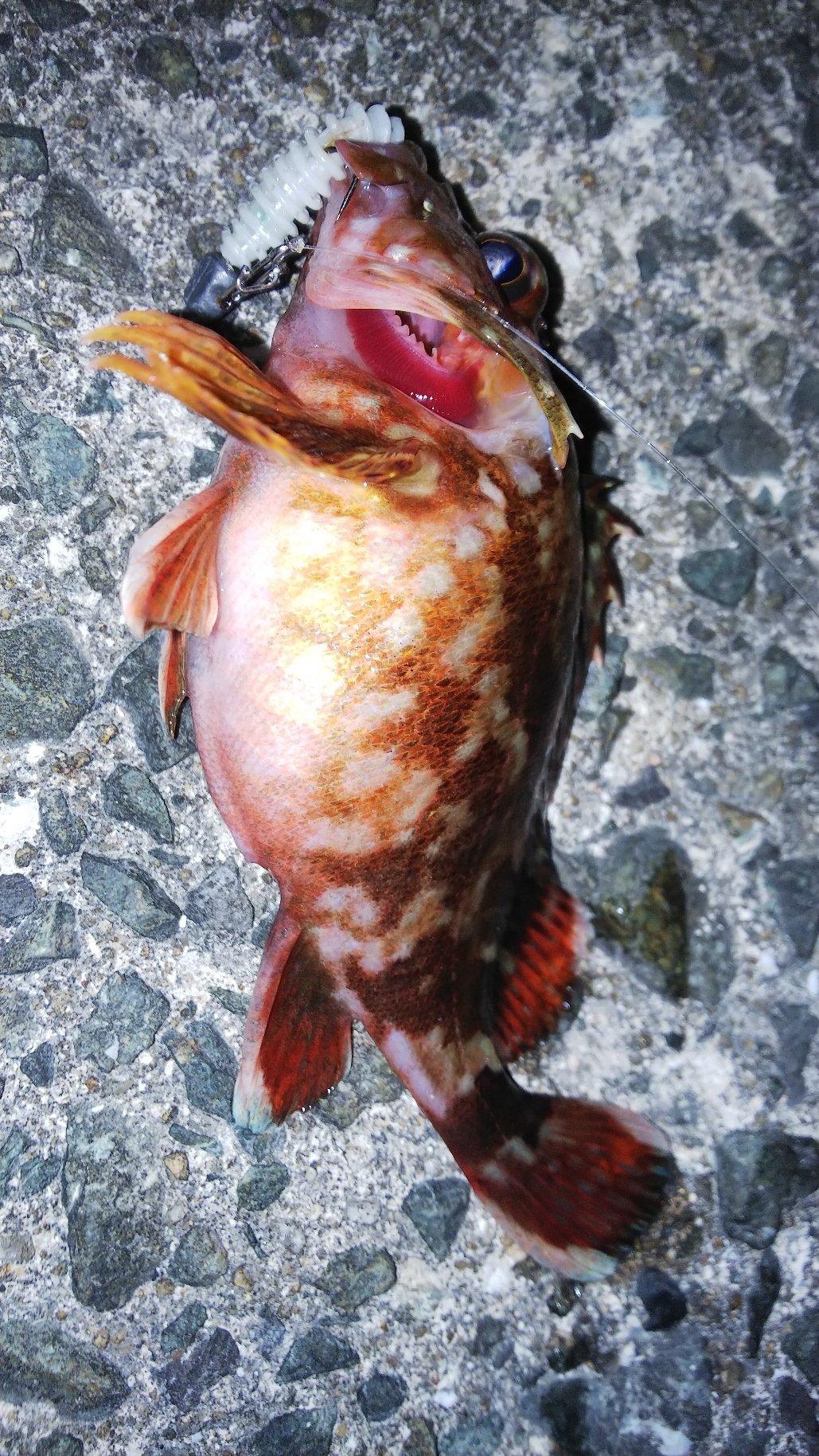 ゆうさんの投稿画像,写っている魚はカサゴ
