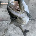 ととのすけさんの兵庫県神戸市でのスズキの釣果写真