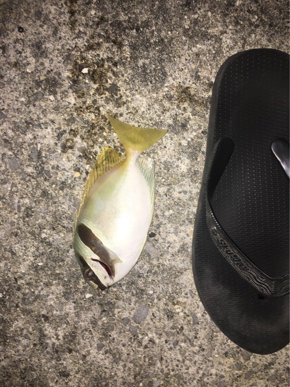 とーさんの投稿画像,写っている魚はヒメアイゴ