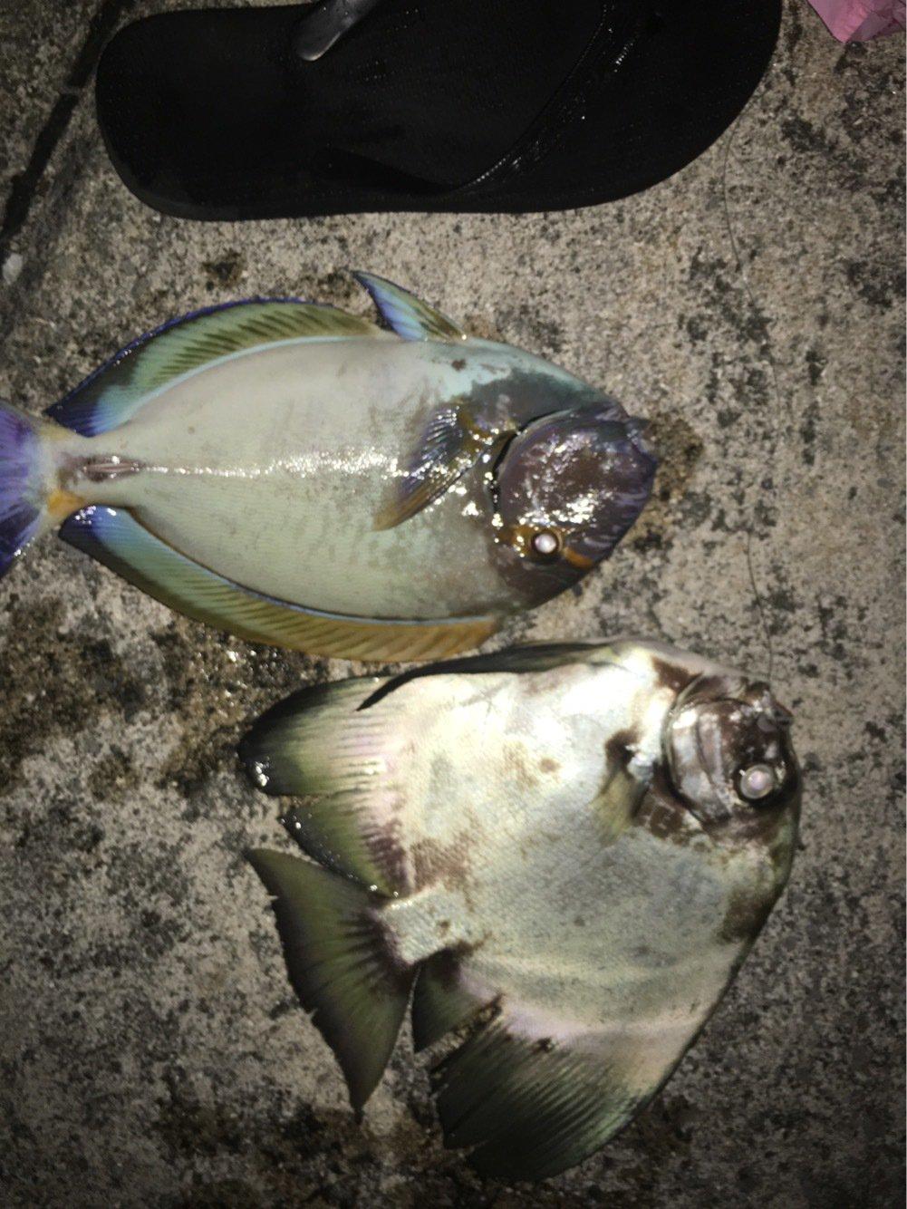 とーさんの投稿画像,写っている魚はニセカンランハギ