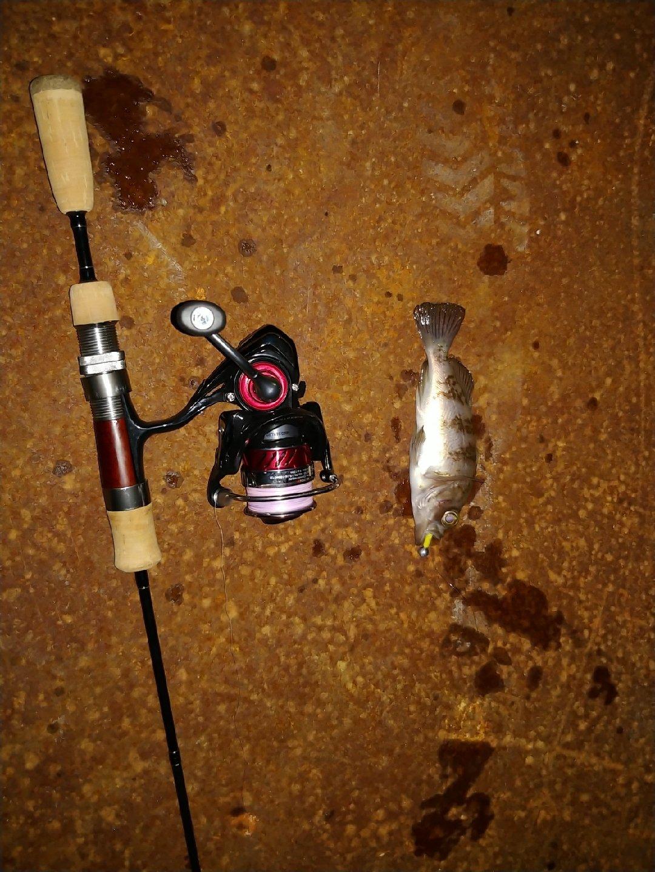 cool-0314さんの投稿画像,写っている魚は,メバル