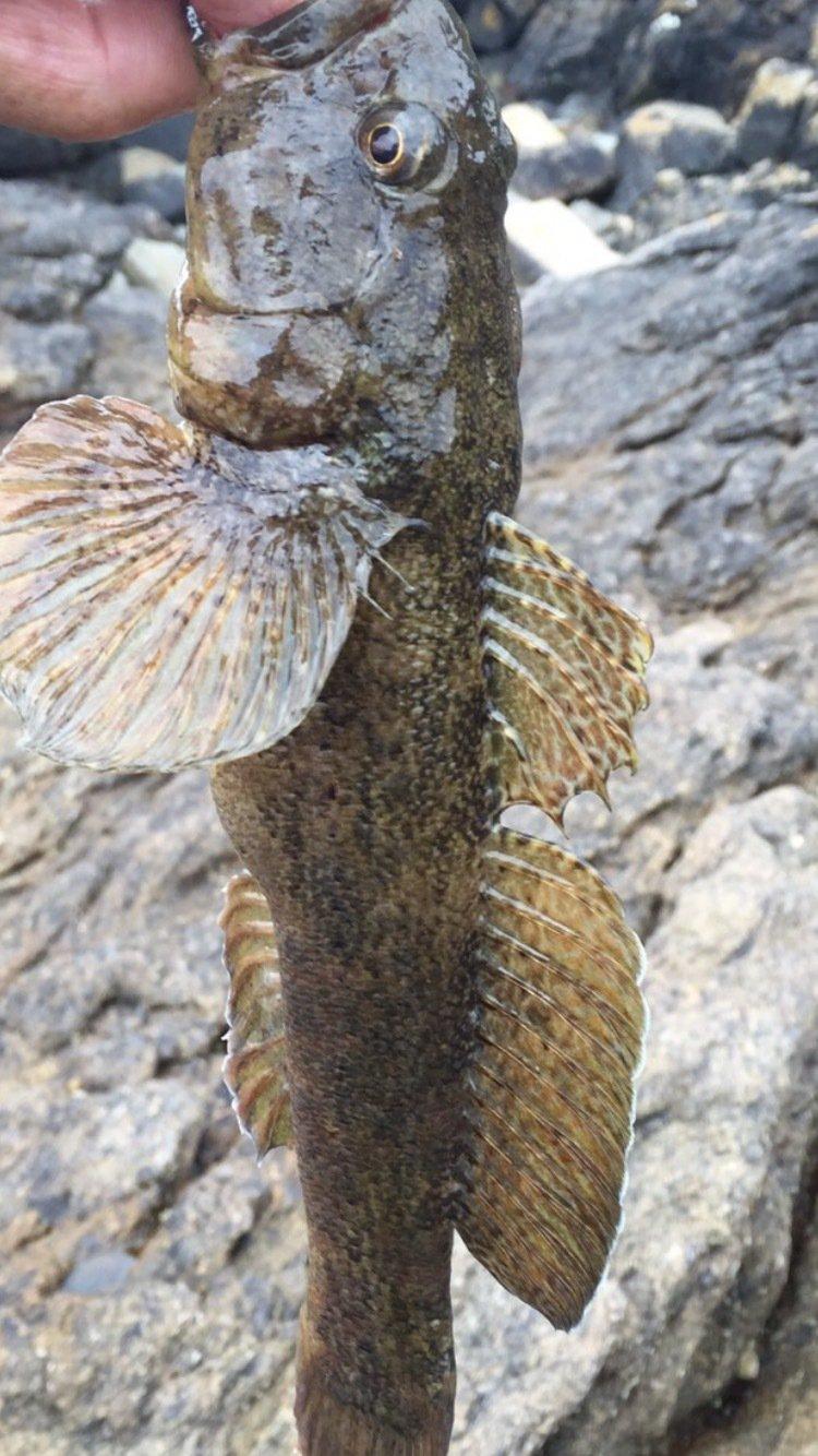 名無しさんの投稿画像,写っている魚はアナハゼ