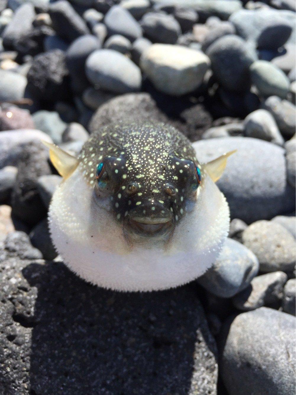 taketonbowさんの投稿画像,写っている魚はフグ
