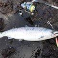 みや丸さんの北海道島牧郡での釣果写真