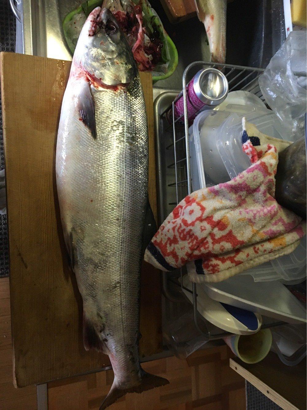 TERAさんの投稿画像,写っている魚はサケ