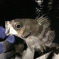 すてふぁにーさんの山口県岩国市での釣果写真