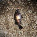 チビルさんの山形県での釣果写真