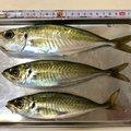 sjさんの福岡県でのアジの釣果写真