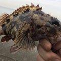 ふくちゃんさんの大阪府泉北郡での釣果写真