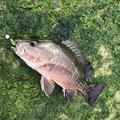 イカバカさんの沖縄県石垣市での釣果写真