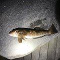 とんびさんの青森県青森市でのアイナメの釣果写真