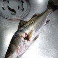 アブさんの兵庫県神戸市でのスズキの釣果写真