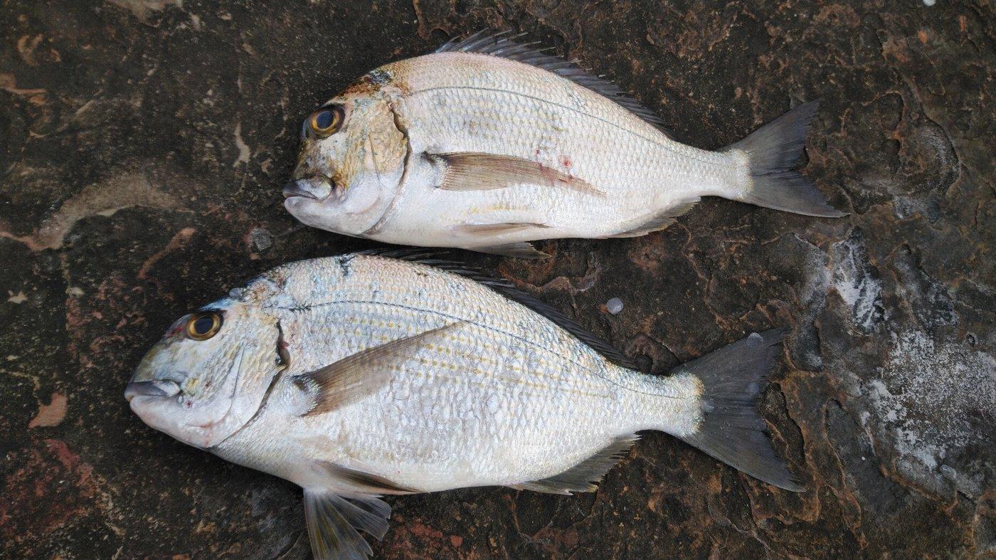 かずくんさんの投稿画像,写っている魚はヘダイ