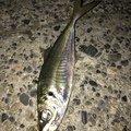 梟さんの新潟県阿賀野市での釣果写真