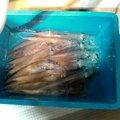 ЙθβЦさんの福井県での釣果写真