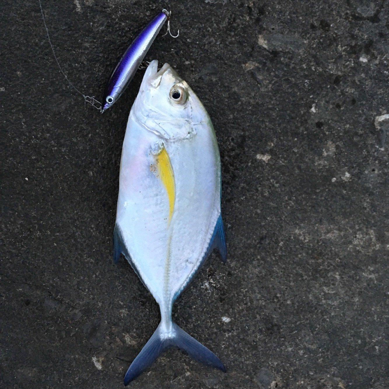 大五郎さんの投稿画像,写っている魚はカスミアジ