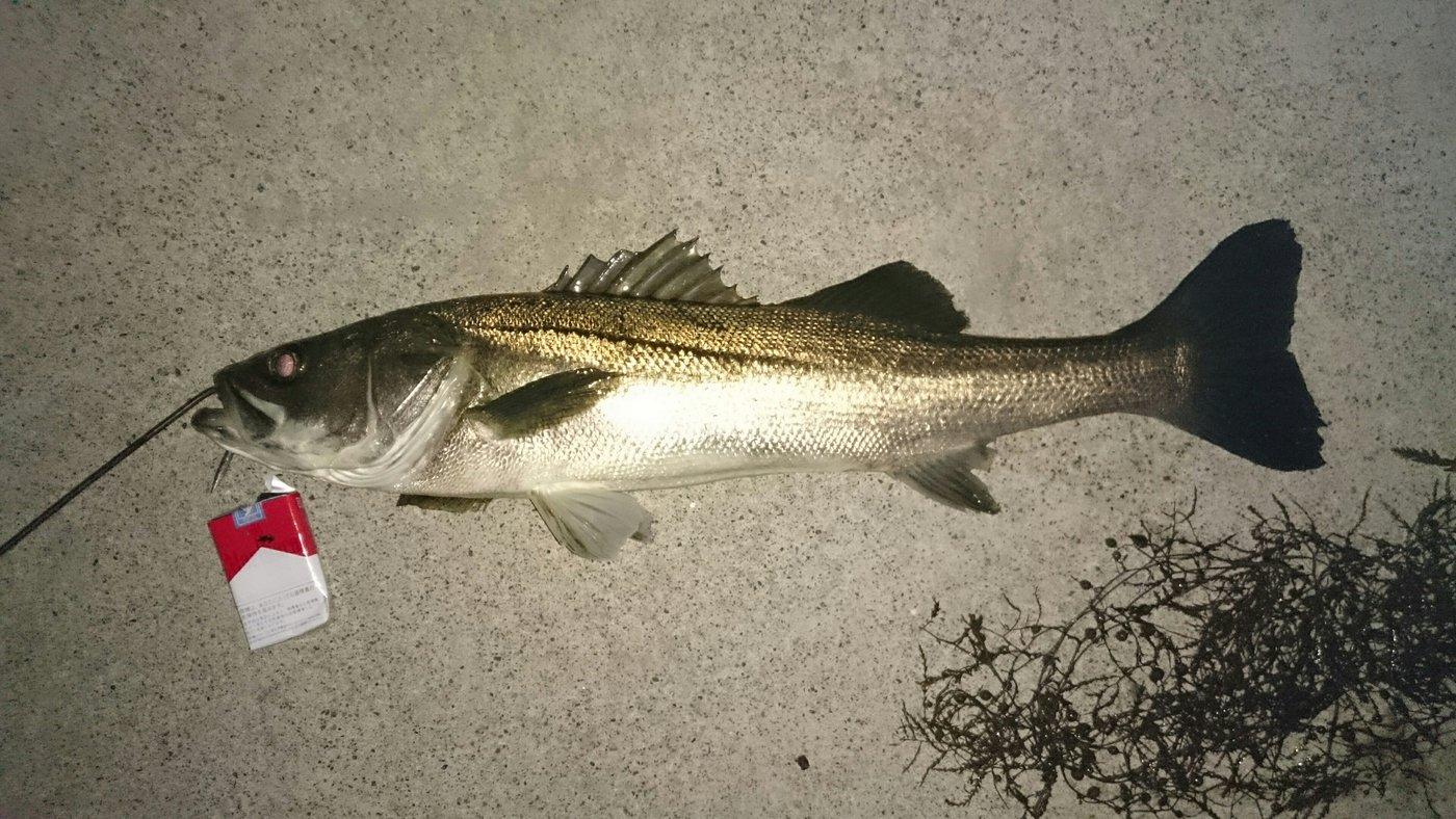 たいたいさんの投稿画像,写っている魚はスズキ