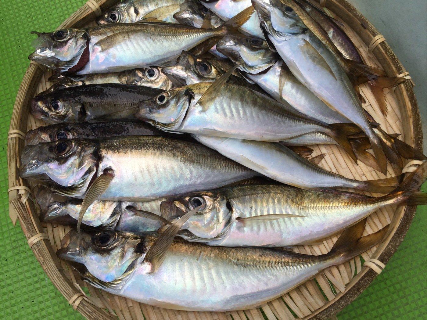 Anglerさんの投稿画像,写っている魚はアジ