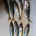 むつさんの福岡県古賀市での釣果写真