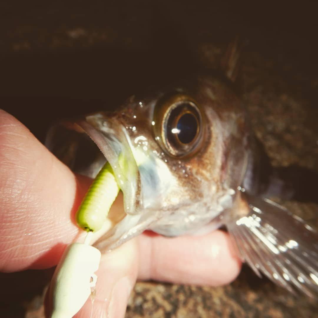 ゆしぴ/携帯破損により新アカさんの投稿画像,写っている魚はメバル