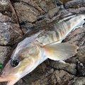 ささきょんさんの青森県西津軽郡での釣果写真