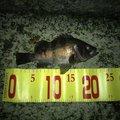 しださんの兵庫県高砂市での釣果写真