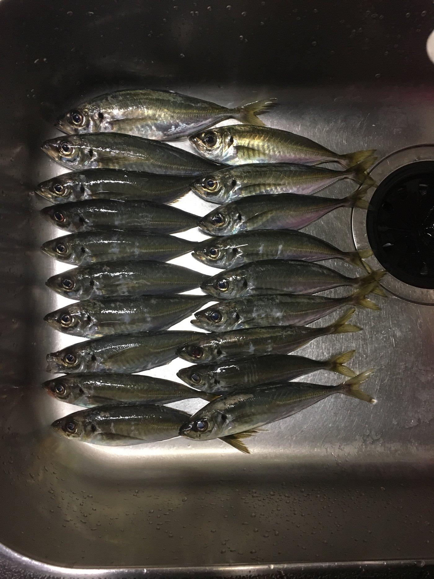 subaさんの投稿画像,写っている魚はアジ