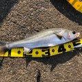 ゆめとさんの高知県土佐市での釣果写真