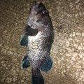 焼き鳥@つり政宗さんの宮城県多賀城市での釣果写真