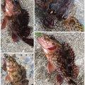 夏遥さんの神奈川県三浦市でのカサゴの釣果写真