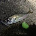 ひょーどるさんの佐賀県での釣果写真