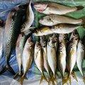 釣りキチ三平さんのマサバの釣果写真