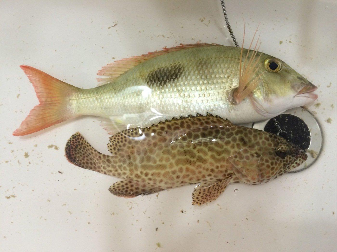 マカロンさんの投稿画像,写っている魚はフエフキダイ