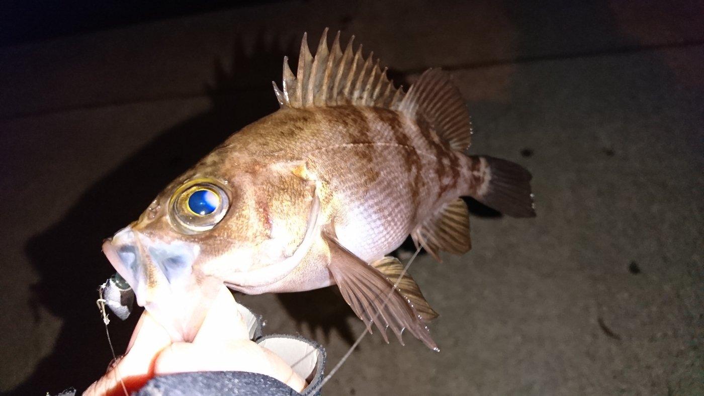 けいさんの投稿画像,写っている魚はメバル