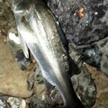 梅宮さんの福岡県遠賀郡でのスズキの釣果写真