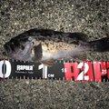 陸軍KO-1さんの三重県四日市市での釣果写真