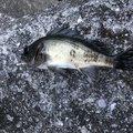 つぼけんさんの山口県大島郡での釣果写真