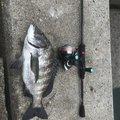 オカラバー12さんの広島県でのクロダイの釣果写真