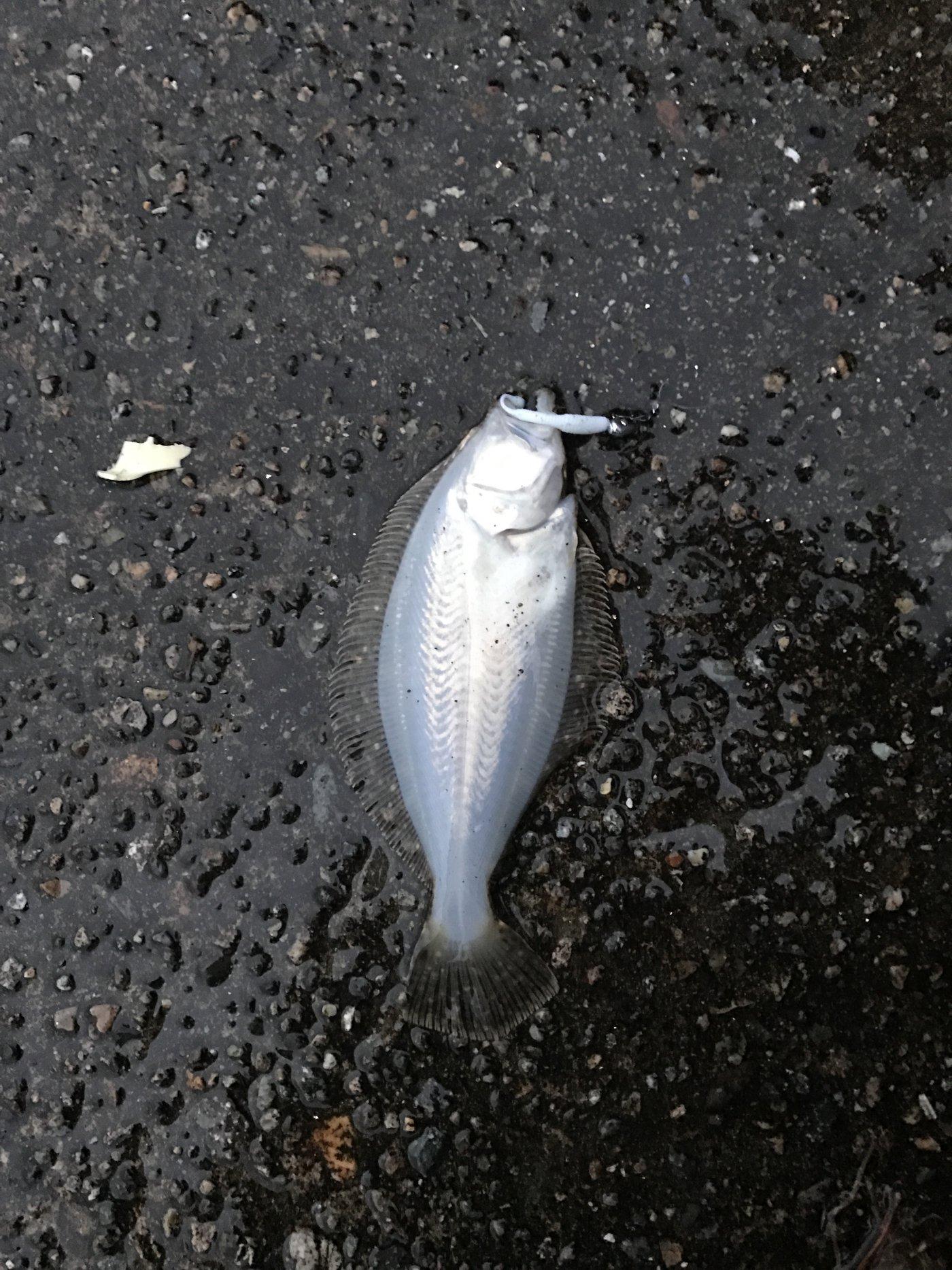 ガンナーズさんの投稿画像,写っている魚はヒラメ