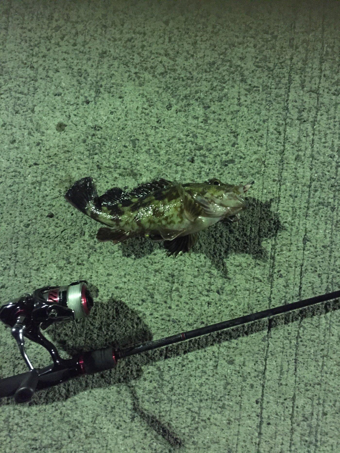 dollyvardenさんの投稿画像,写っている魚はカサゴ