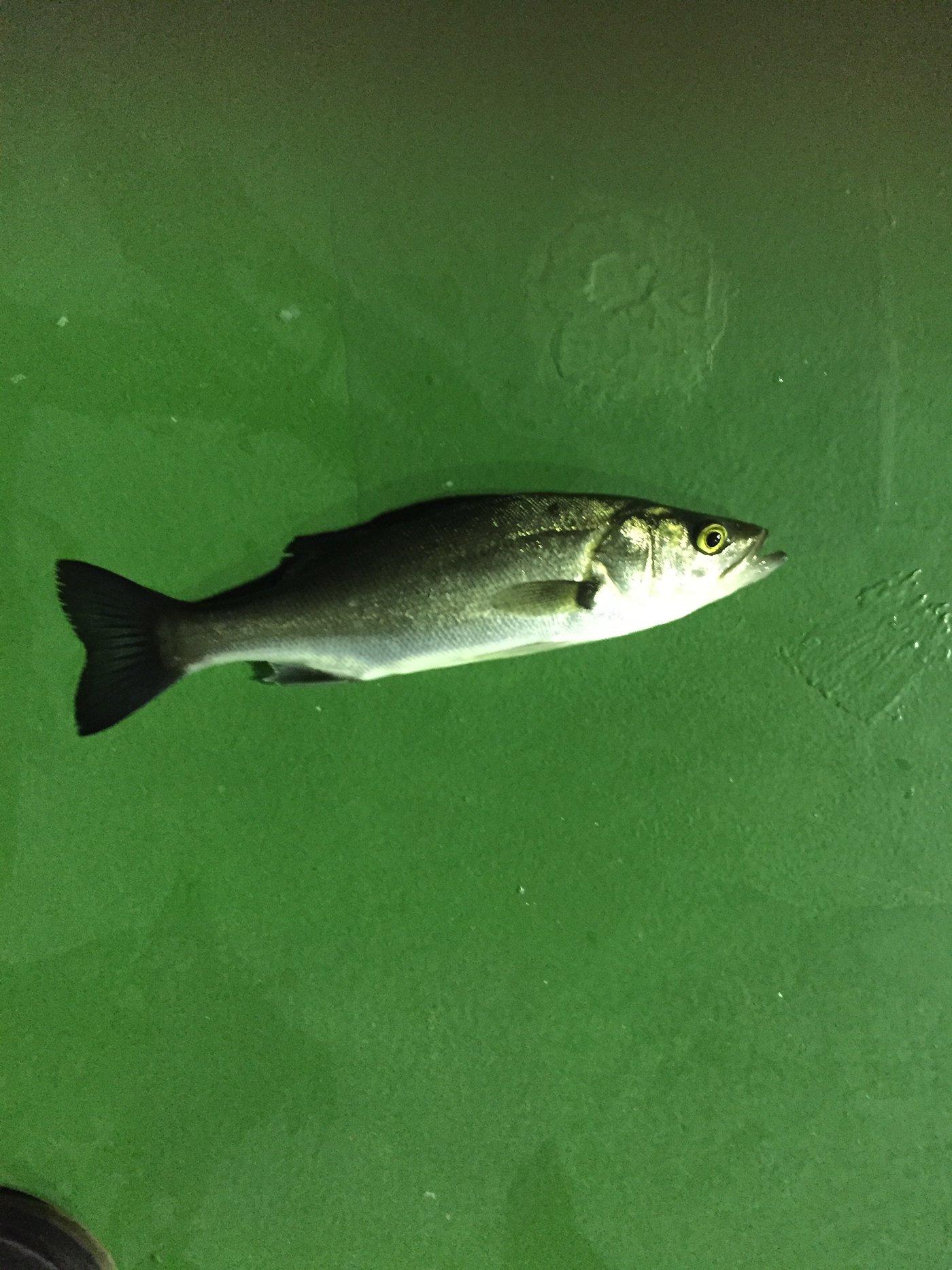 dollyvardenさんの投稿画像,写っている魚はスズキ