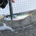 タカヒロさんのマサバの釣果写真