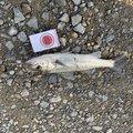 しげっちさんの石川県加賀市での釣果写真